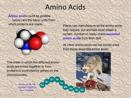Amino acids link together (right) to form proteins.