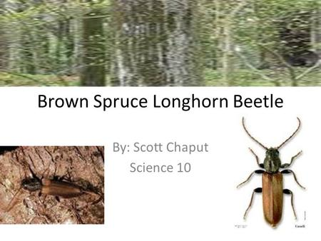 Brown Spruce Longhorn Beetle By: Scott Chaput Science 10.