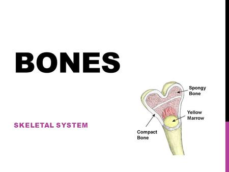 BONES SKELETAL SYSTEM. WHAT HAPPENED TO ALL THE BONES?? As a newborn you are born with over 300 bones! As an adult you have only 206! What happened to.