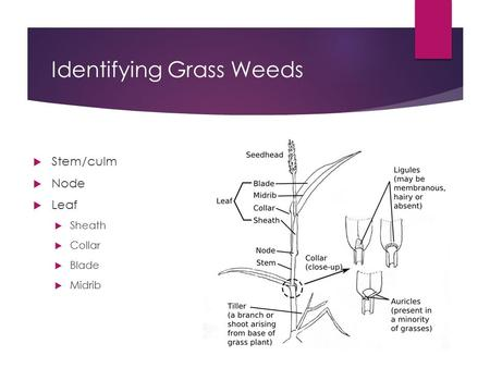 Identifying Grass Weeds  Stem/culm  Node  Leaf  Sheath  Collar  Blade  Midrib.
