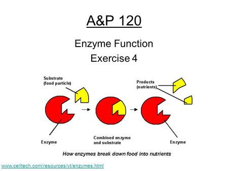 A&P 120 Enzyme Function Exercise 4 www.celltech.com/resources/vt/enzymes.html.