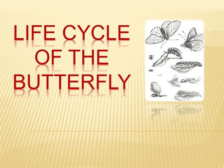  Butterflies lay their eggs on the plants that will provide food for their young when they hatch.