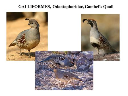 GALLIFORMES, Odontophoridae, Gambel's Quail. FALCONIFORMES, Accipitridae, Northern Harrier.