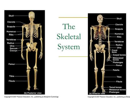 The Skeletal System. Functions Support  Structural support  Framework for attachment Storage  Calcium reserve  Energy reserves (Lipids in yellow marrow)