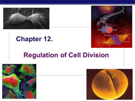 AP Biology 2005-2006 Chapter 12. Regulation of Cell Division 1.
