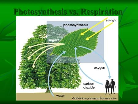 Photosynthesis vs. Respiration. Where Does Energy Come From? Energy is stored in food!!! Energy is stored in food!!! ONLY Plants are autotrophs—they make.