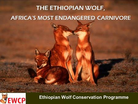Ethiopian Wolf Conservation Programme THE ETHIOPIAN WOLF, AFRICA'S MOST ENDANGERED CARNIVORE.