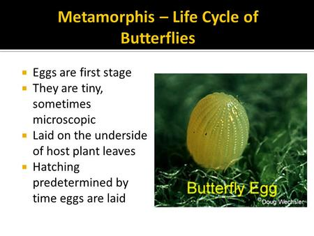  Eggs are first stage  They are tiny, sometimes microscopic  Laid on the underside of host plant leaves  Hatching predetermined by time eggs are laid.