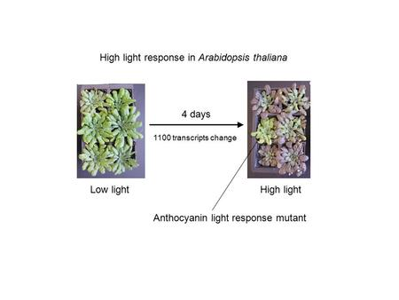 Low lightHigh light High light response in Arabidopsis thaliana 4 days 1100 transcripts change Anthocyanin light response mutant.