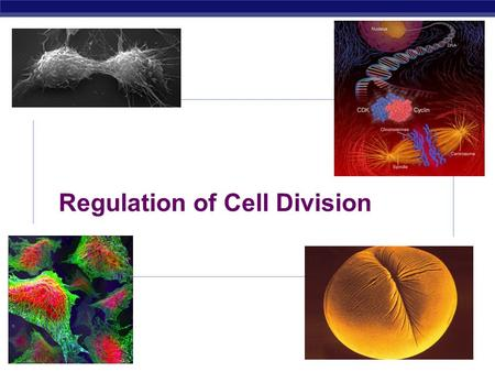 AP Biology Regulation of Cell Division AP Biology Coordination of cell division (12.3)  A multicellular organism needs to coordinate cell division across.