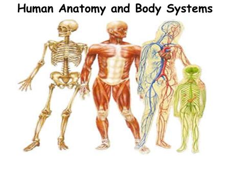 Human Anatomy and Body Systems. Levels of Organization Remember, the human body is organized in several levels, from the simplest to the most complex...