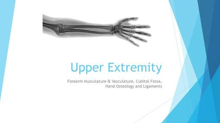 Upper Extremity Forearm Musculature & Vasculature, Cubital Fossa, Hand Osteology and Ligaments.