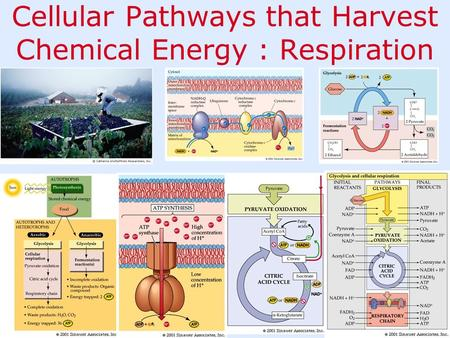 Cellular Pathways that Harvest Chemical Energy : Respiration.