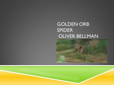 GOLDEN ORB SPIDER OLIVER BELLMAN. INTRODUCTION The Golden Orb Spider is an arachnid.