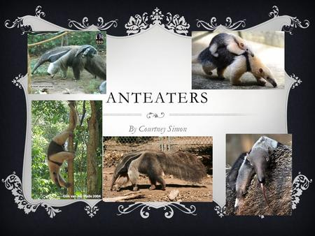 ANTEATERS By Courtney Simon. FOOD ~silky ant eaters can eat up to 5,000 insects a day. ~they also eat ants and termites.