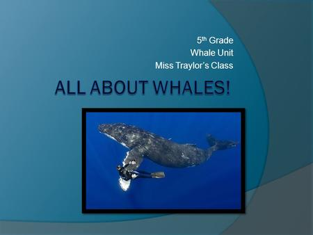 5 th Grade Whale Unit Miss Traylor's Class. Whales Mammals- give live birth, warm blooded, nourish young with milk The only mammals that live in the ocean.
