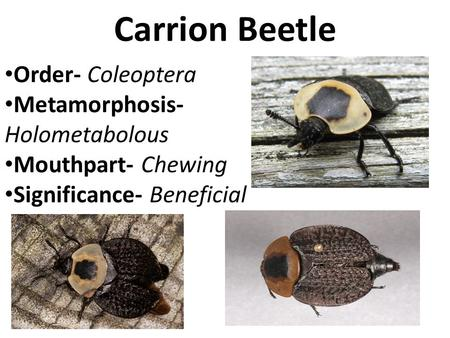 Carrion Beetle Order- Coleoptera Metamorphosis- Holometabolous Mouthpart- Chewing Significance- Beneficial.