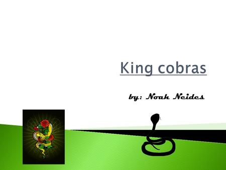 By: Noah Neides. What is a King Cobra? Is it an amphibian? Well, you can find out if you just sit back and enjoy this report about King Cobras.