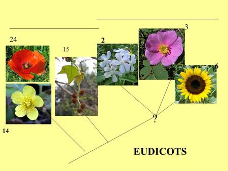 14 15 2 3 6 24 EUDICOTS ?. CORE EUDICOTS ? ? ASTERIDS.