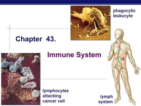 AP Biology 2008-2009 Chapter 43. Immune System lymphocytes attacking cancer cell phagocytic leukocyte lymph system.