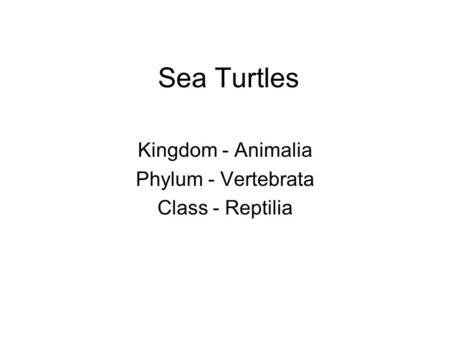 Sea Turtles Kingdom - Animalia Phylum - Vertebrata Class - Reptilia.