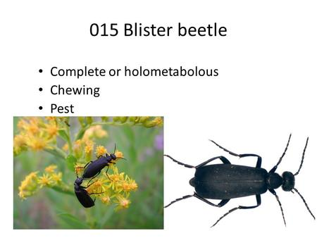 015 Blister beetle Complete or holometabolous Chewing Pest.