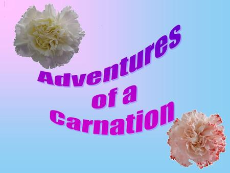 To change the colour of a carnation we need water, red food colouring and a white carnation. Mix a few drops of red food colouring with the water. Put.