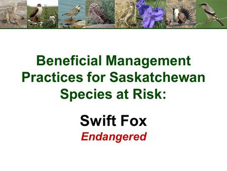 Beneficial Management Practices for Saskatchewan Species at Risk: Swift Fox Endangered.