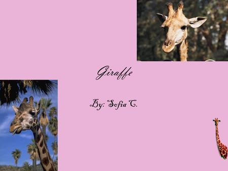"Giraffe By: Sofia C.. Physical Characteristics A giraffe has brownish-yellow to chestnut brown patch like markings. They have two boney ""horns"" that grow."