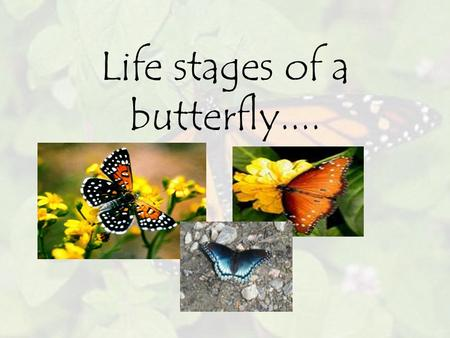 Life stages of a butterfly..... Butterfly has 4 stages of life cycle... Egg Larva Chrysalis Adult.
