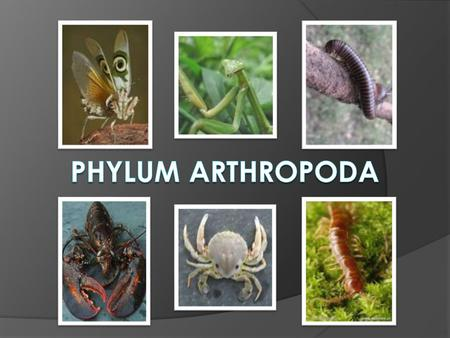 "Phylum Arthropoda Name Means: ""Jointed-Foot""  Trilobita  Examples: trilobites, now extinct  Crustacea  Examples: shrimp, crabs, lobsters, barnacles…"
