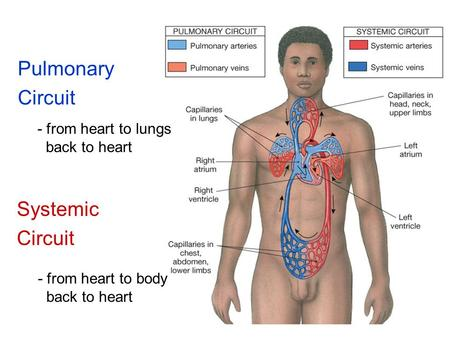Pulmonary Circuit Systemic Circuit - from heart to lungs back to heart - from heart to body back to heart.