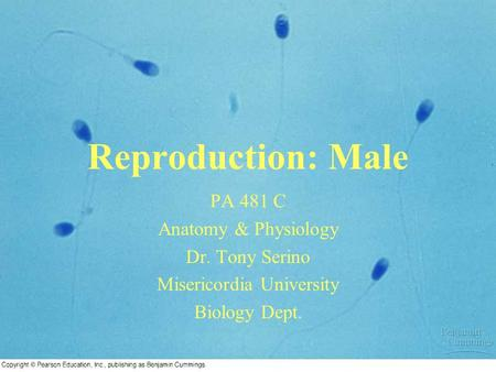 Reproduction: Male PA 481 C Anatomy & Physiology Dr. Tony Serino Misericordia University Biology Dept.
