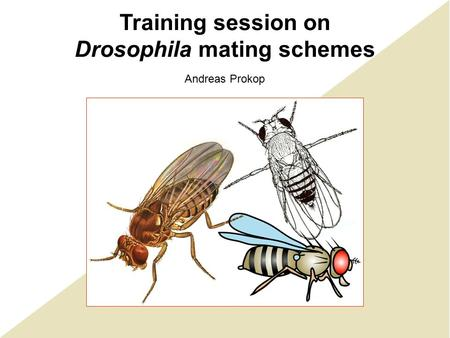 Training session on Drosophila mating schemes Andreas Prokop.