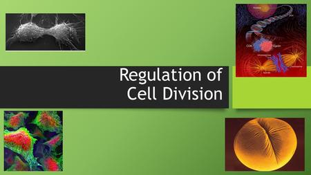 Regulation of Cell Division Coordination of cell division A multicellular organism needs to coordinate cell division across different tissues & organs.