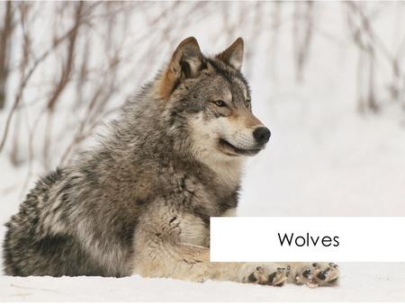 Wolves. Habitat Wolves lives in many different habitats. Some wolves live in very dense forests whilst others live in cold regions such as the Arctic.