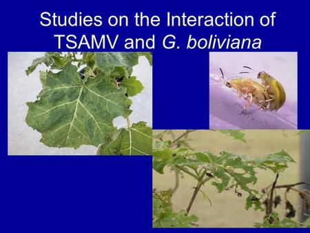 Studies on the Interaction of TSAMV and G. boliviana.
