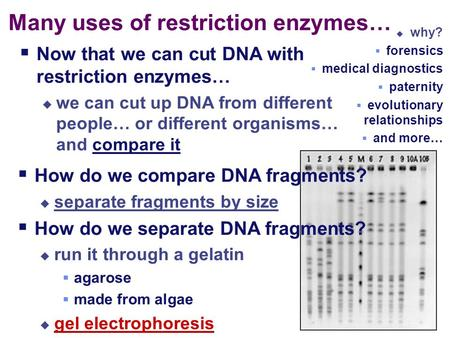  How do we compare DNA fragments?  separate fragments by size  How do we separate DNA fragments?  run it through a gelatin  agarose  made from algae.