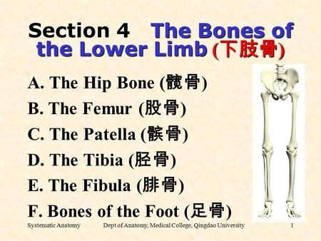 Systematic AnatomyDept of Anatomy, Medical College, Qingdao University1 Section 4 The Bones of the Lower Limb ( 下肢骨 ) A. The Hip Bone ( 髋骨 ) B. The Femur.
