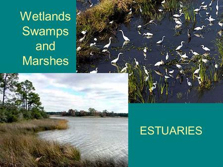 Wetlands Swamps and Marshes ESTUARIES. What is a Wetland? Wetlands are areas where water covers the soil, or is present either at or near the surface.