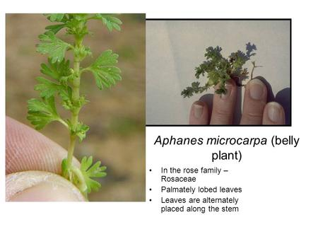 Aphanes microcarpa (belly plant) In the rose family – Rosaceae Palmately lobed leaves Leaves are alternately placed along the stem.