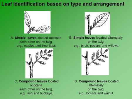 A. Simple leaves located opposite each other on the twig, e.g., maples and tree lilacs. B. Simple leaves located alternately on the twig, e.g., birch,