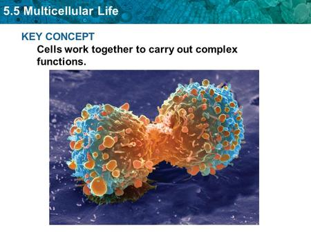 5.5 Multicellular Life KEY CONCEPT Cells work together to carry out complex functions.