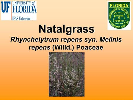 Natalgrass Rhynchelytrum repens syn. Melinis repens (Willd.) Poaceae.