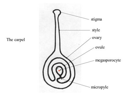 Stigma style ovary ovule megasporocyte micropyle The carpel.
