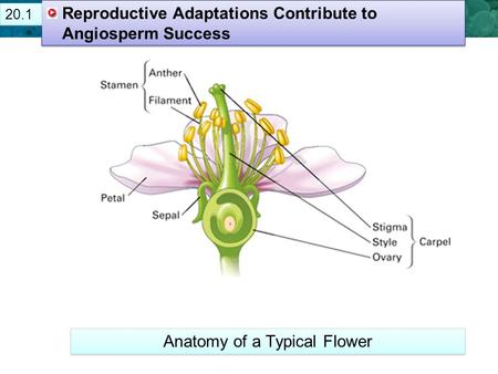21.1 Plant Cells and Tissues Reproductive Adaptations Contribute to Angiosperm Success Anatomy of a Typical Flower 20.1.
