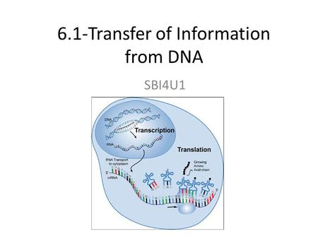6.1-Transfer of Information from DNA SBI4U1. BIG QUESTION How does a gene determine a trait?