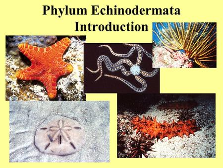 Phylum Echinodermata Introduction. About 6000 species, all marine Echinodermata.