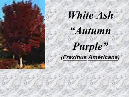 "White White Ash ""Autumn Purple"" ( Fraxinus Americana)"