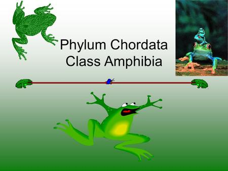 Phylum Chordata Class Amphibia. 1.Class Amphibia A. Lay eggs in water, or some kind of moisture 1. Live in water as larvae and on land as adults. 2. Have.